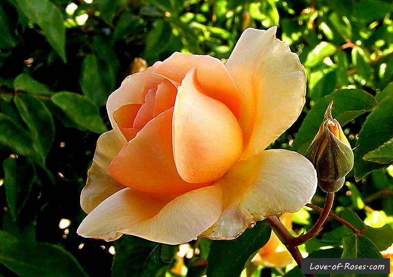 Crepescule rose flower