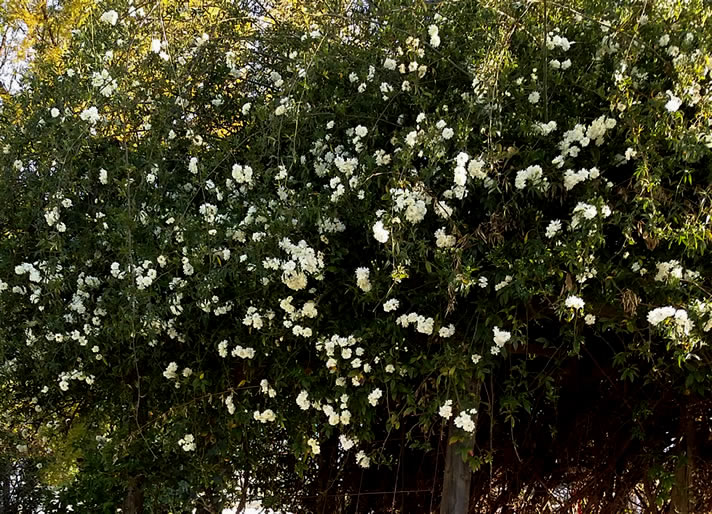White Banksia rose bush